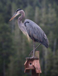 Great Blue Heron by Jen Allender